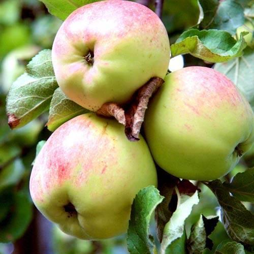 Яблоня антоновка: описание сорта, фото, отзывы садоводов