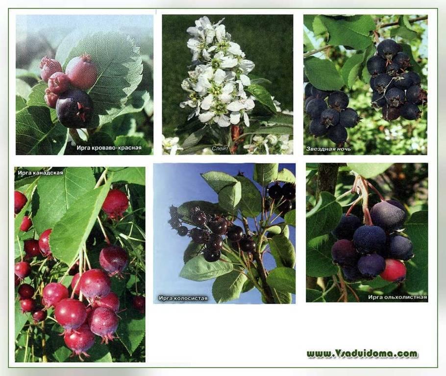 Ирга сорта смоки – высокоурожайный кустарник для вашего сада