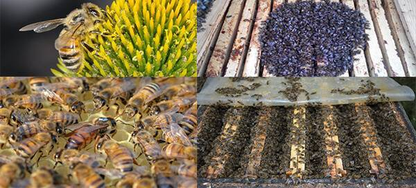 Пчелы бакфаст: описание породы и правила содержания