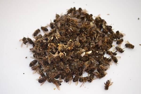 Настойка из пчелиного подмора: применение и рецепты