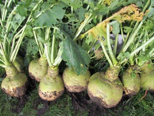 Брюква - особенности выращивания корнеплода