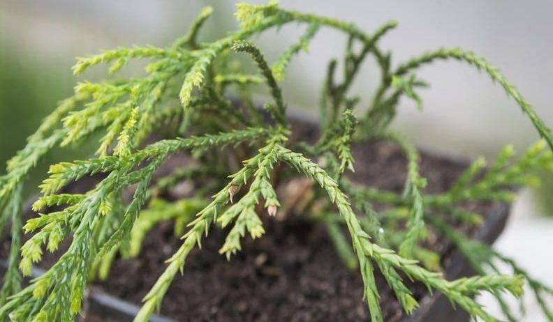 Кипарисовик тупой тедди бир: описание растения, его посадка и уход