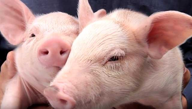 Пастереллез свиней: лечение и профилактика