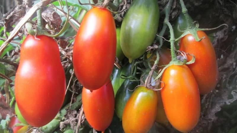 Томат Французский гроздевой: характеристика и описание сорта