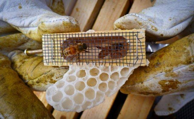 Вывод пчелиных маток, пчелиная матка— этапы развития по дням