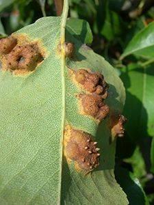 Что делать, если на листьях яблони и груши появились пятна