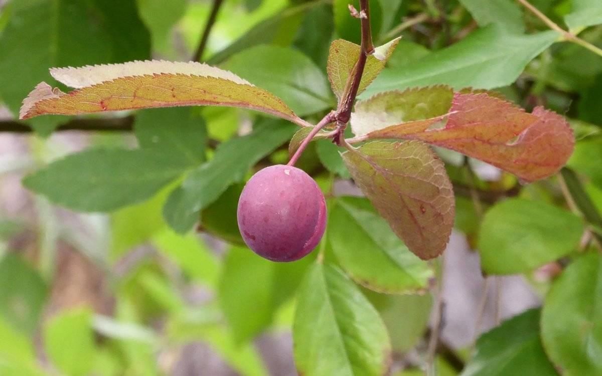 Почему не плодоносит голубика: причины и их устранение