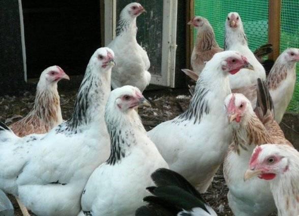 Первомайская порода кур: характеристика и описание, содержание и уход