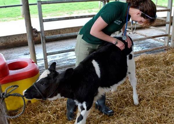 Ушиб путового сустава у коровы