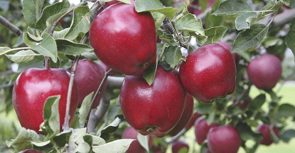 Яблоня ред делишес: описание сорта, характеристика плодов, схема и сроки посадки, особенности ухода, сроки сбора и условия хранения урожая