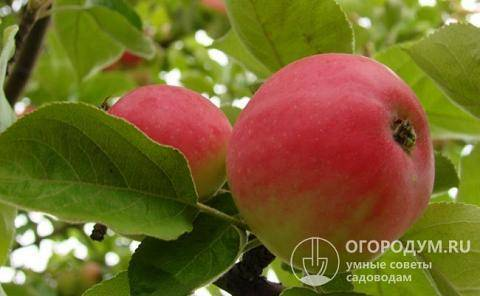 Яблоня «медуница»: характеристика сорта
