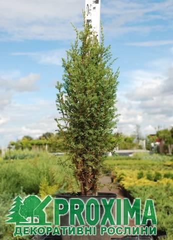 Можжевельник арнольд – компактное вечнозеленое растение