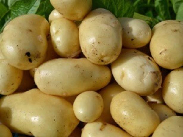 Лучшие сорта картофеля для средней полосы россии, подмосковья