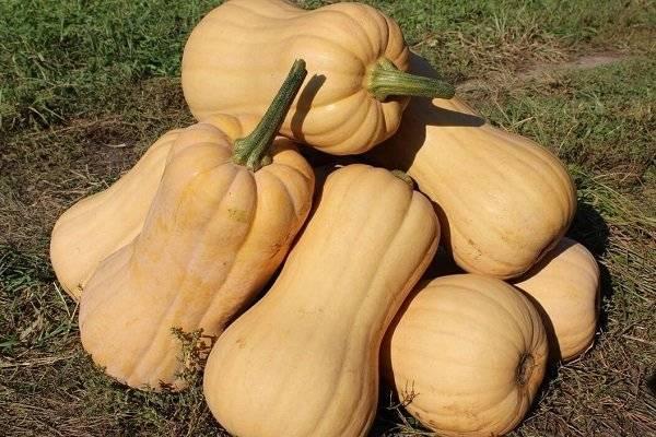 Голландский раннеспелый гибрид тыквы «матильда»: выращиваем до 15 кг плодов с квадратного метра