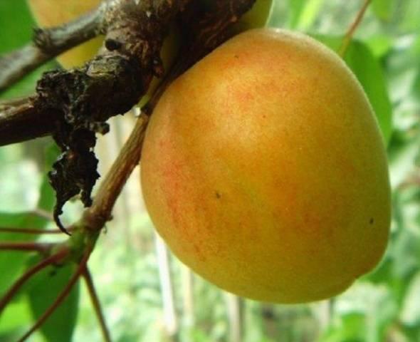 Абрикос триумф северный: особенности посадки и выращивания