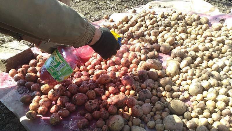 Календарь обработки картофеля от болезней и вредителей