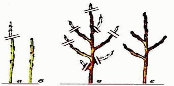 Колоновидная яблоня: уход и обрезка, инструкция по посадке