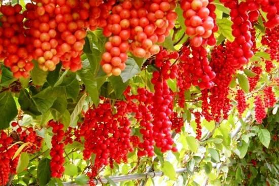 Лимонник китайский: выращивание и уход в подмосковье, сибири, средней полосе россии и юге