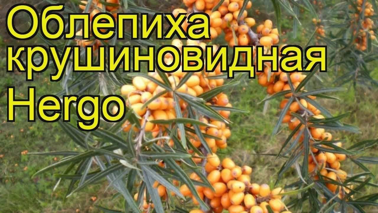 Облепиха крушиновидная — hippophea rhamnoides l.