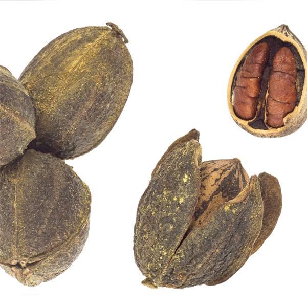 Орех пекан: фото и описание
