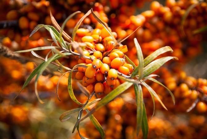 Полезные свойства листьев облепихи и противопоказания