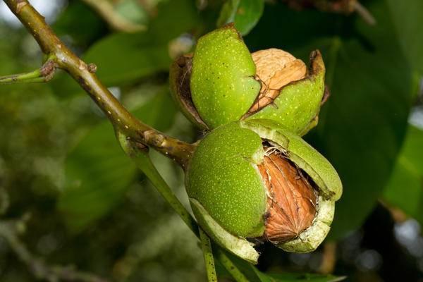 Нюансы плодоношения грецкого ореха: когда созревает урожай и как его собирать?