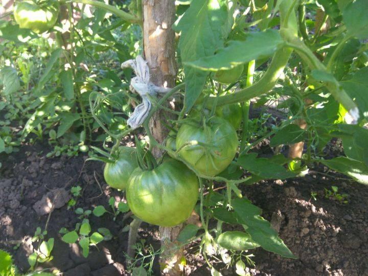 Особенности подкормки помидоров в открытом грунте