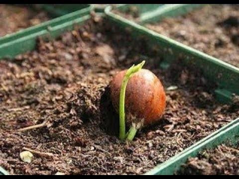 Уход и выращивание фундука в домашних условиях