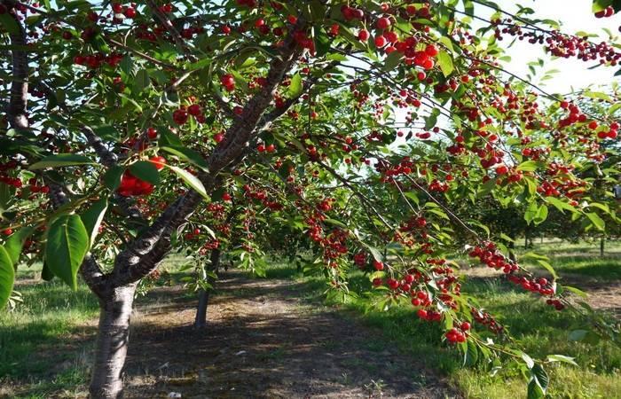 Описание сорта вишни тургеневская, правила посадки и ухода, какой ей нужен опылитель, фото