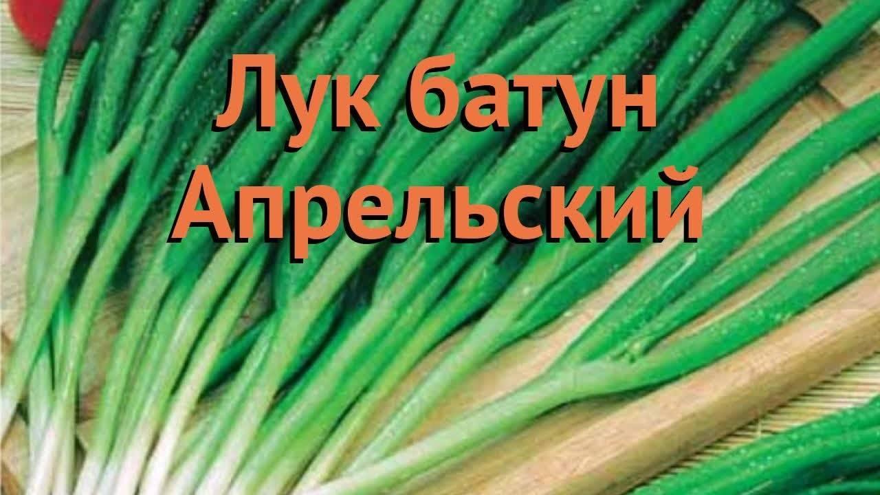 Выращиваем лук-батун