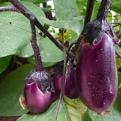 Сорт баклажан со вкусом грибов. описание, характеристика, выращивание