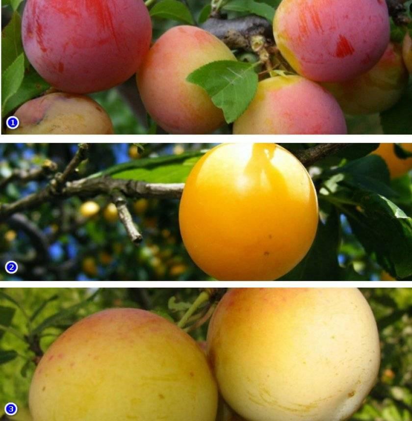 Слива очаковская желтая — описание сорта, фото, отзывы садоводов
