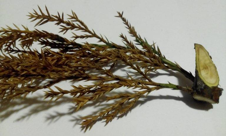 Можжевельник обыкновенный: посадка и уход в открытом грунте, размножение, сорта, выращивание и сочетание в ландшафтном дизайне