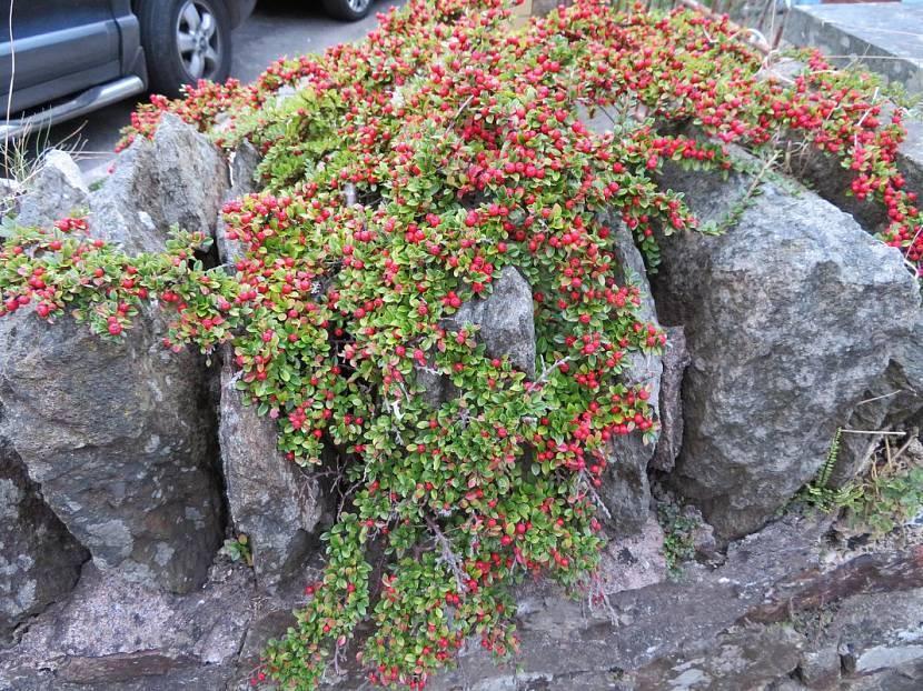 Кустарник кизильник: посадка и уход в открытом грунте, фото, размножение, виды и сорта