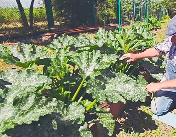 Описание сорта кабачка кавили, особенности выращивания и урожайность