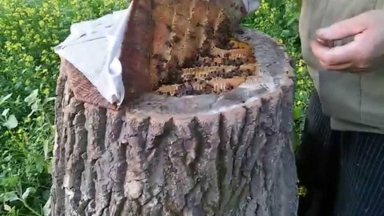 Колодное пчеловодство: «за» и «против»