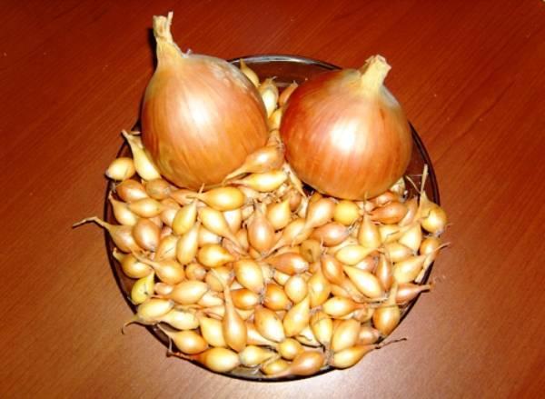 Сорт лука геркулес