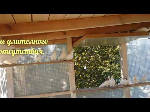 Уход, содержание и разновидности статных голубей