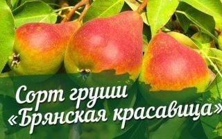 Груша сорта русская красавица — особенности посадки, выращивания и ухода