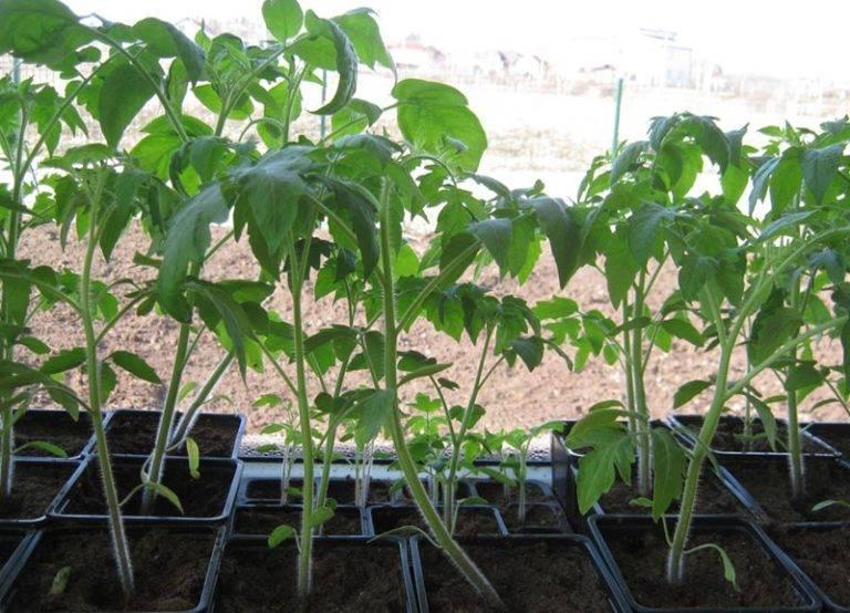 Плохо растет рассада помидоров: причины, что делать