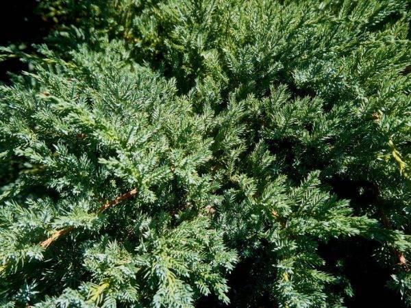 Можжевельник горизонтальный голден карпет (juniperus horizontalis golden carpet)