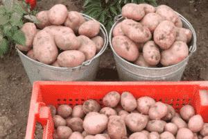 Картофель молли описание сорта фото отзывы