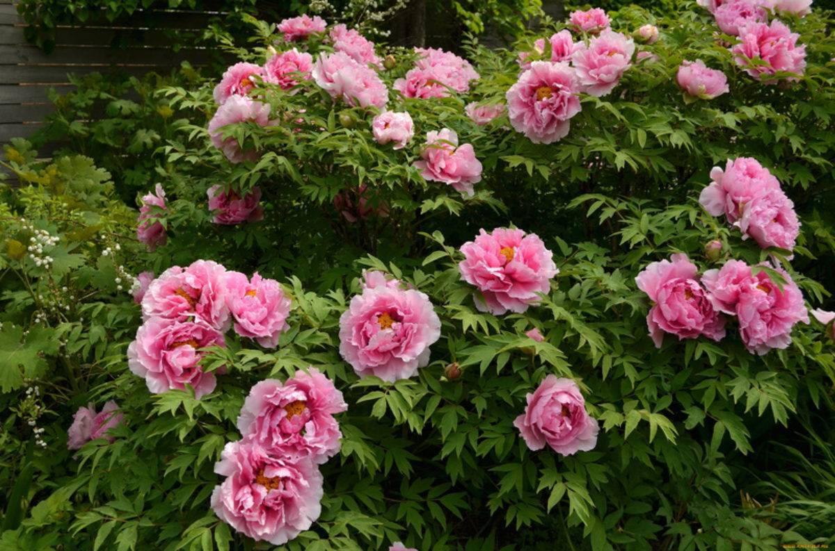 Пионы. секреты пышного цветения.  мой сад, огород. копилка дачного опыта.