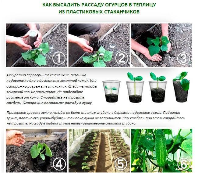 Как посадить огурцы в торфяные таблетки