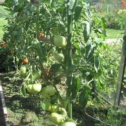 Драгоценность из сибири — сорт помидора «малахитовая шкатулка»: описание и особенности выращивания томата