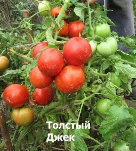 Толстый джек томат