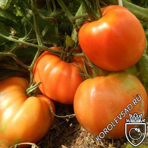 Характеристика и описание сорта томата алтайский шедевр, урожайность