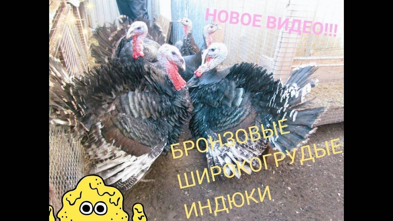 Северокавказские индюки: особенности породы
