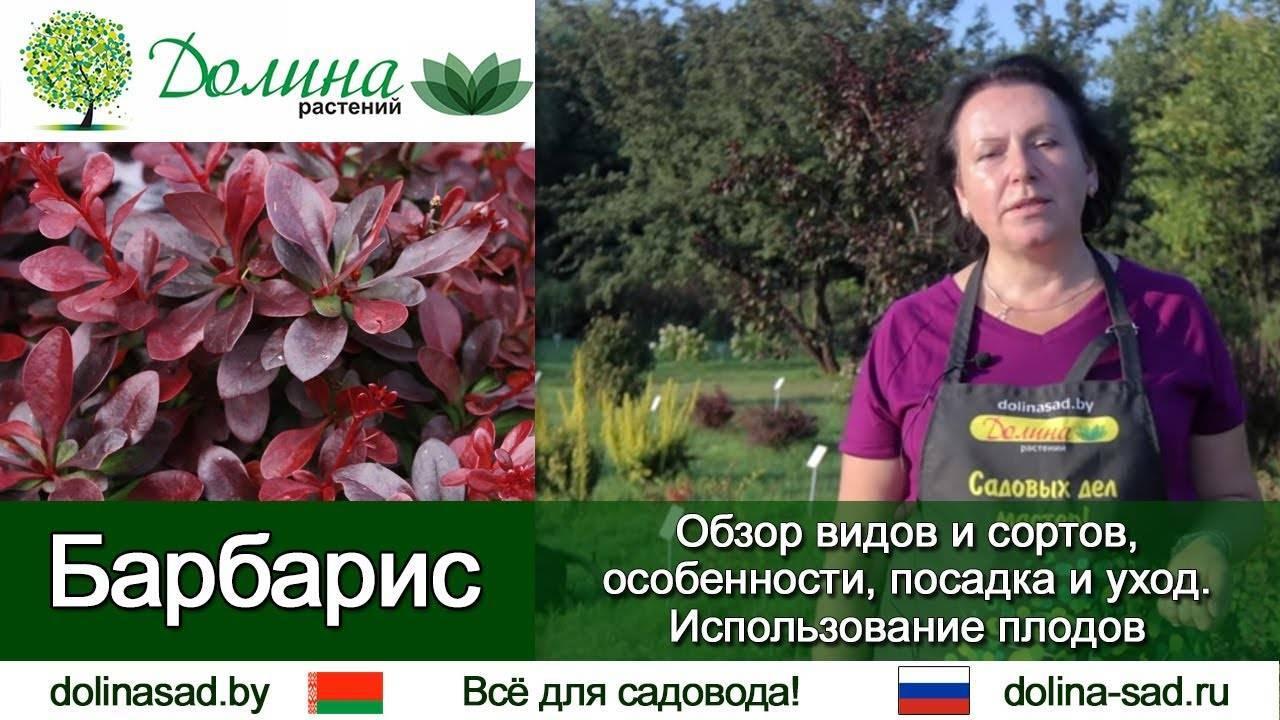 Агротехника барбариса роуз глоу (rose glow) в открытом грунте: как ухаживать