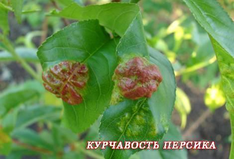 Курчавость листьев персика: что это за болезнь и как с ней бороться?